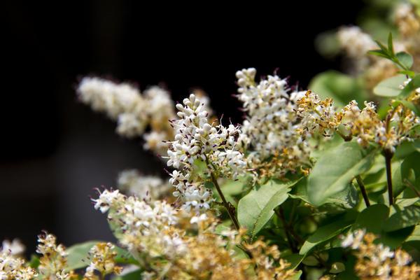 Бирючина (Ligustrum lucidum)