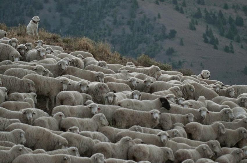 terraoko 2015012702 4 Праздник Трейлинг овец в Айдахо.