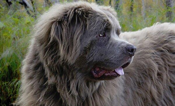 Как дачных грабителей собака — ньюфаундленд задержала. Они ее видели, но подумали, что игрушка.