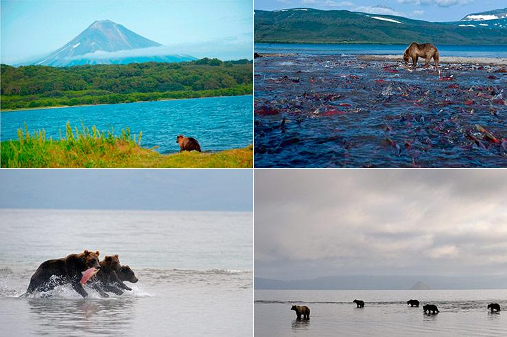 Такое количество вкусного корма привлекает на озеро камчатских медведей