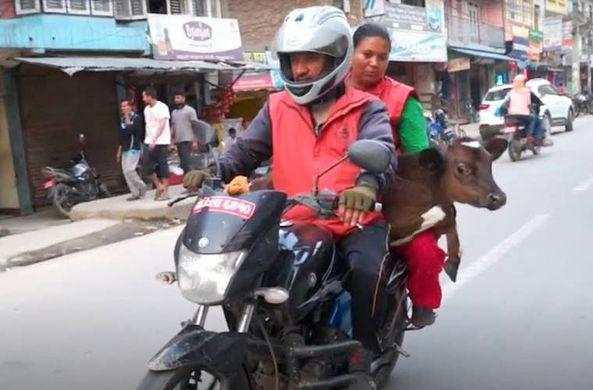 Непальский активист перевез на мотоцикле 166 коров