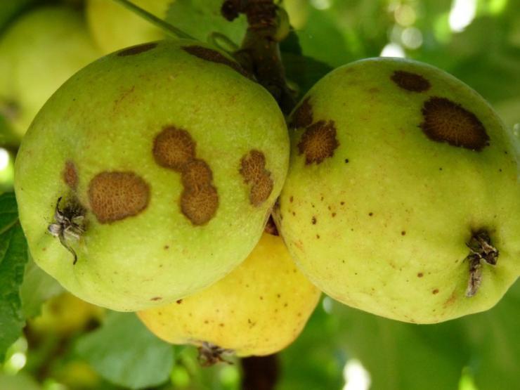 Парша на яблоне и груше: как бороться с болезнью и не допустить ее развития