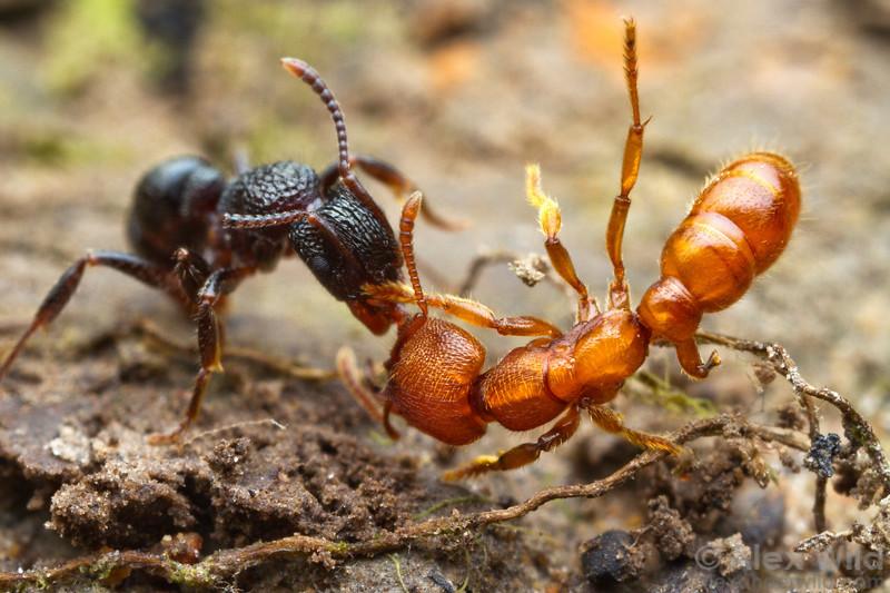 Войны муравьев: жестокость и каннибализм на поле боя