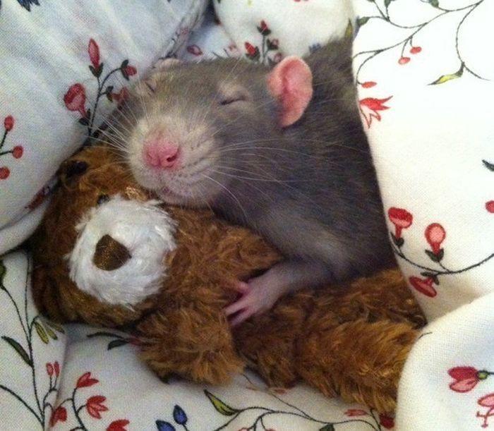 … или прибрать к рукам вашего любимого плюшевого медвежонка животные, крыса, милота, позитив