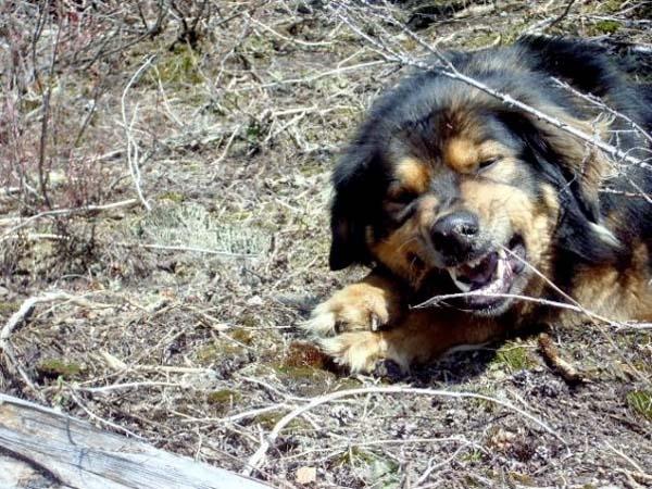 Собака спасла хозяйку ценой собственной жизни дружба, собака, спасение