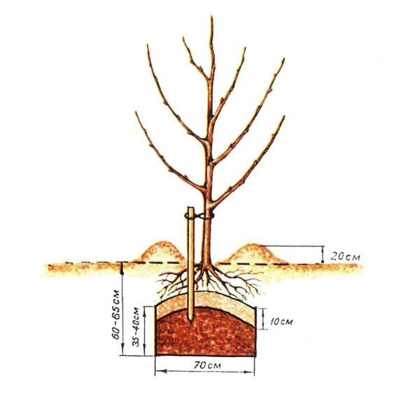 корни яблони находятся на повехости утепляющий слой хорошо