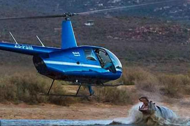 Дикий бегемот напал на пролетающий вертолет
