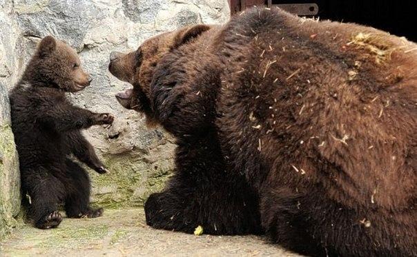Строгая медведица...