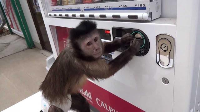 Обезьянка сама покупает сок в автомате!