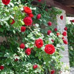 "Роза ""Sympathie"" на стене"