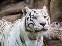 Белые тигры 32