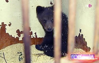 Найденную в Новой Москве медведицу выпустили на волю
