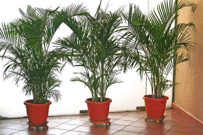 Пальмы уход за комнатными цветами в домашних условиях