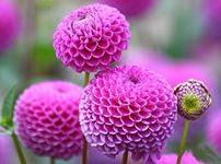 Фото Три цветка розовой георгины