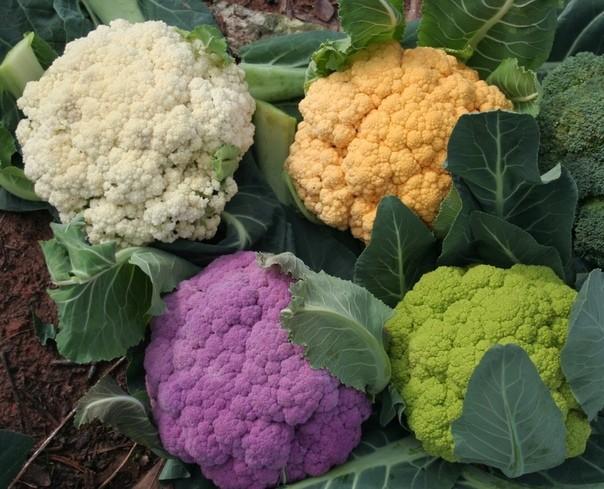 Виды и сорта цветной капусты