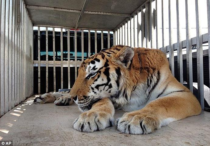тигр, врачи, спасение, шерсть