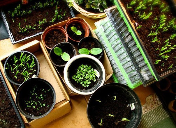 Семена сажаем в кипяток .....с моими экспериментами