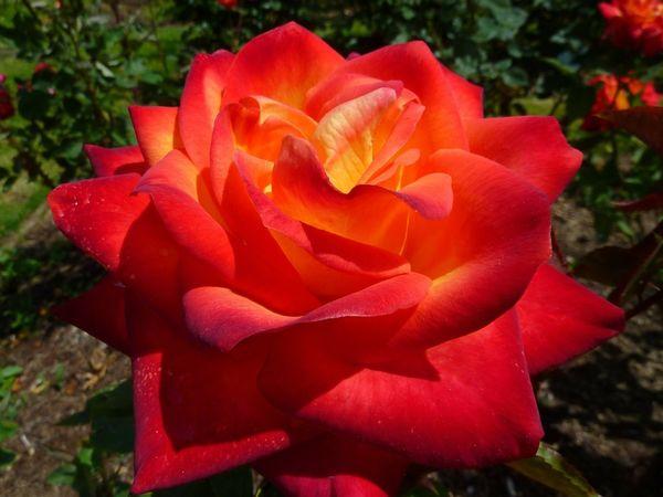 Проще всего обрезать чайно-гибридные розы