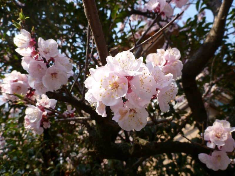 Цветы бледно-розовой сакуры. Фото