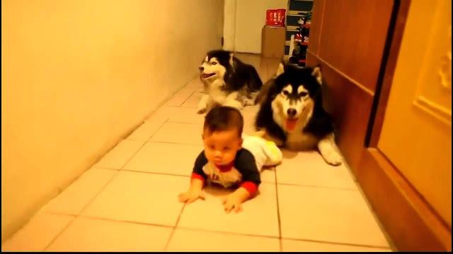 Хаски передразнивают ребенка. Прелестное видео!