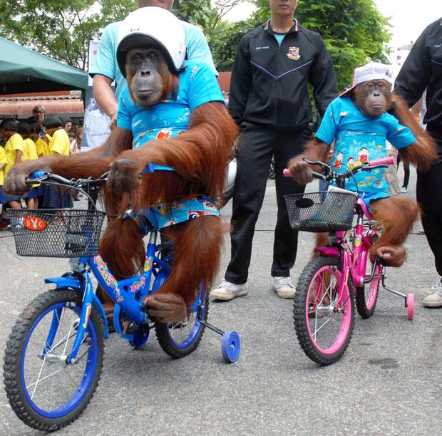 Орангутаны учат детей правилам безопасной езды на велосипеде