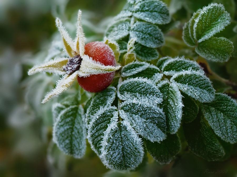 Спасение тещи от заморозков