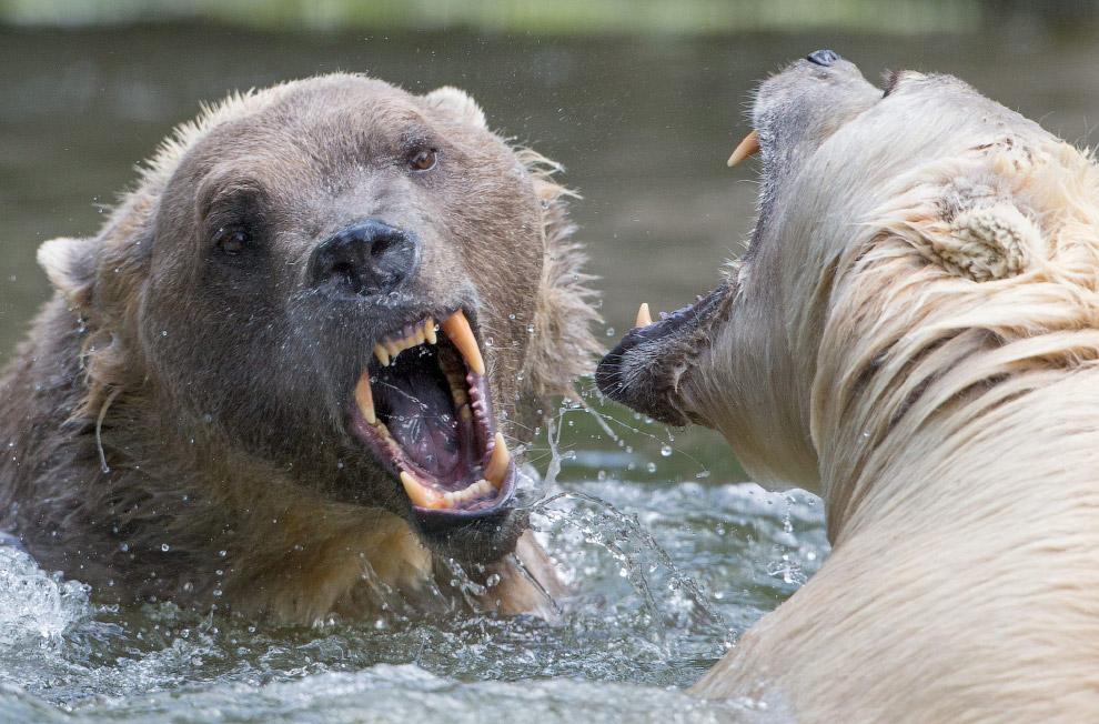 Медведи в зоопарке в Оснабрюке, Германия