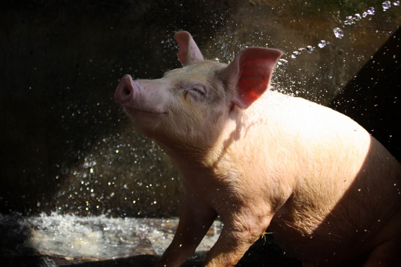 Женщины вскармливают поросят грудью, или Что еще вы не знали о свиньях