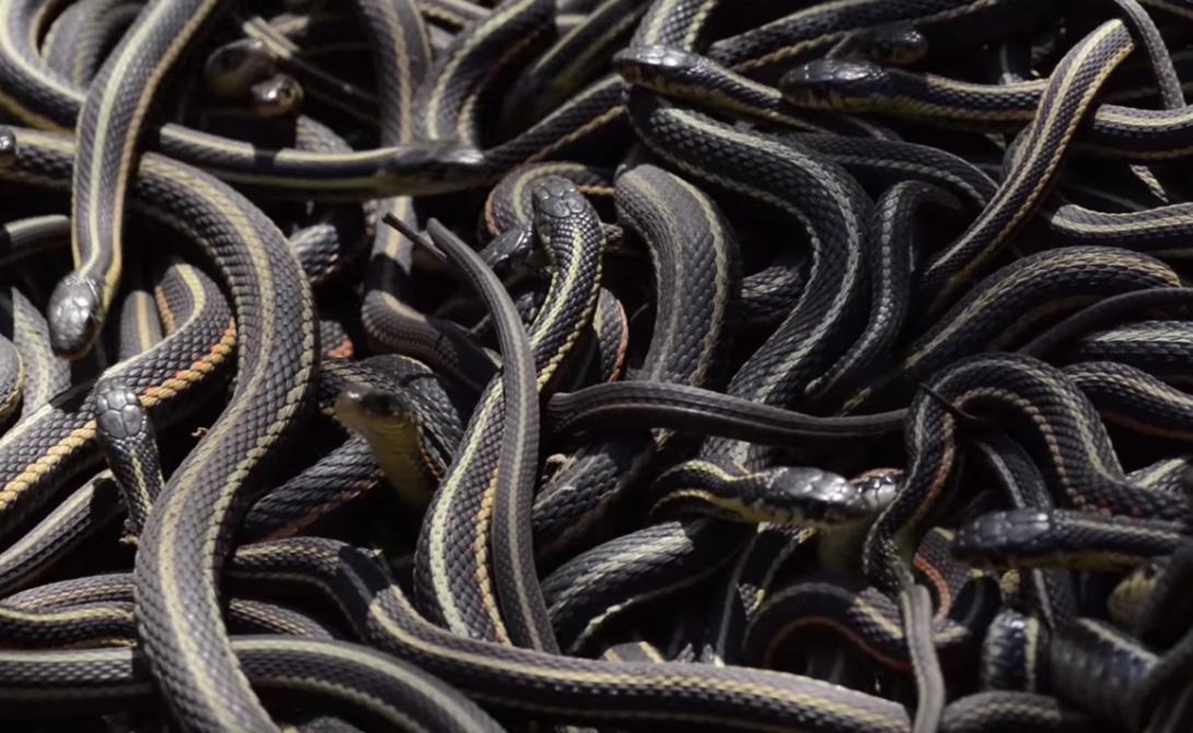 Они копошатся со всех сторон: как выглядит настоящий змеиный апокалипсис