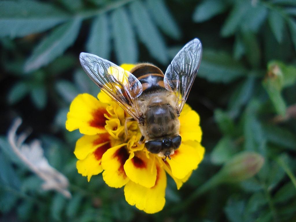 Звёздная пчёлка