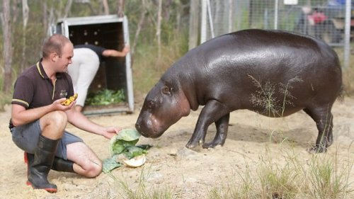 Capybara Facts Diet Habitat Lifespan as Pets Pictures