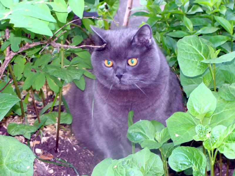 Кот-огородник
