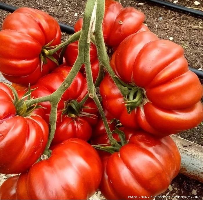 Сидераты для томатов - как на самом деле оздоровить почву и повысить урожайность