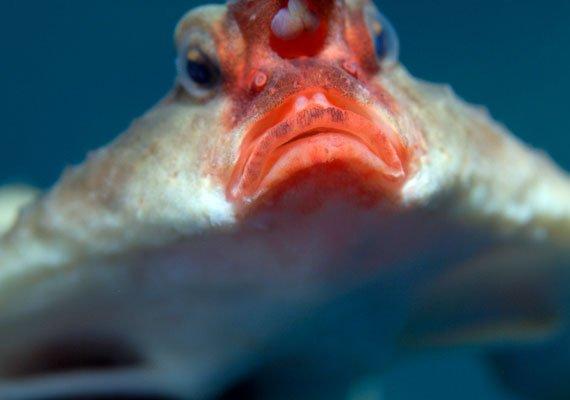 Рыба-мышь в воде