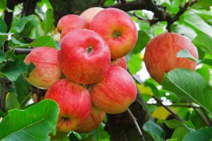 Как заставить яблоню плодоносить раньше