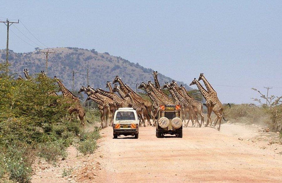 Уникальные кадры: 30 жирафов переходят дорогу