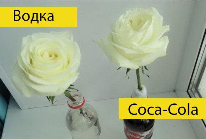 Водка или Coca-Cola: блогер провел эксперимент, в чем розы простоят дольше