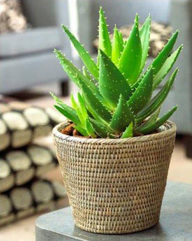 Алое Вера – это самое известное домашнее растение, отличающееся своими целебными свойствами...