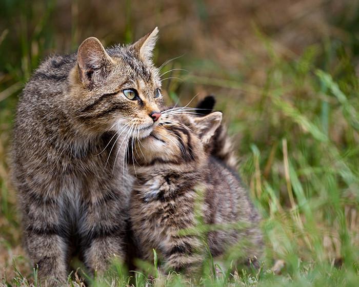 25. Шотландская дикая кошка котенок, кошка