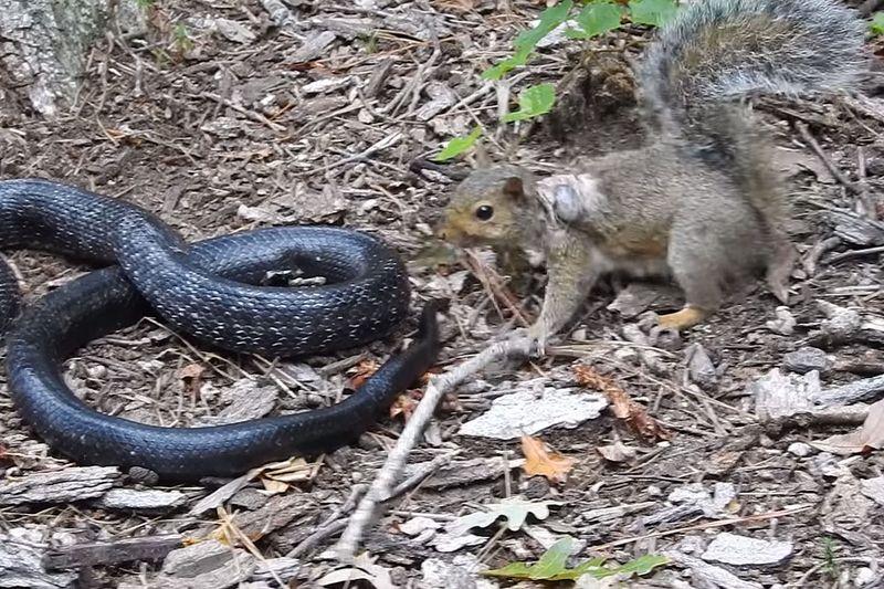 Как отважная белка сражалась со змеей