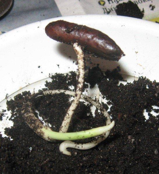 Как вырастить финик из косточки?