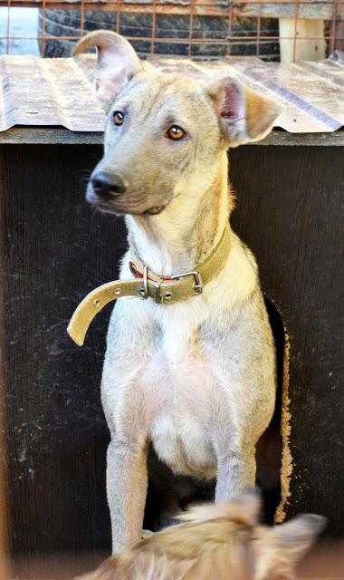 В Ростове собака, которую пытались съесть неадекватные хозяева, ищет дом.