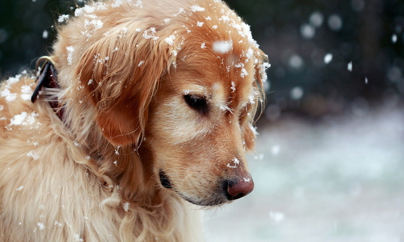 Чем опасен снег для собаки?