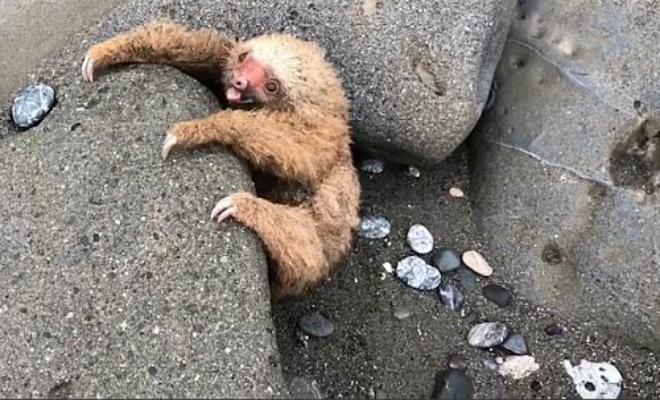 Спасение маленького ленивца попало на видео и это самое милое, что вы можете себе представить
