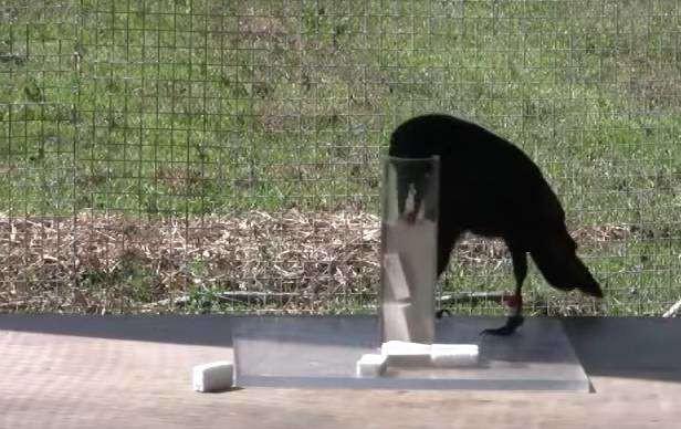 Интеллект ворон поразил ученых ворона, интеллект, тест