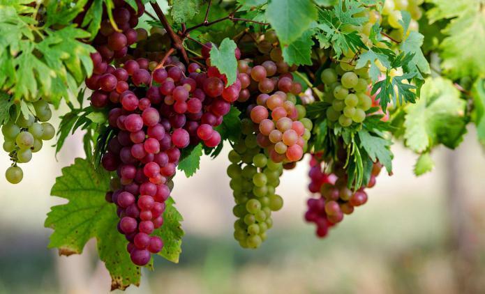 Польза винограда при лечении заболеваний