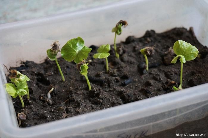 Травянистые гибискусы выращивание из семян 66