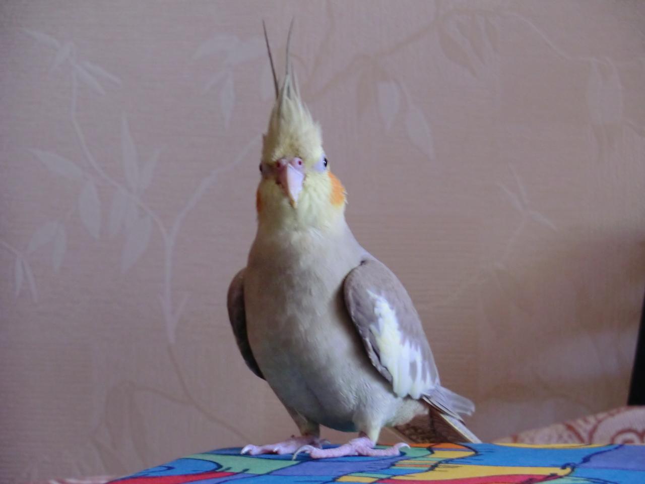 Вопрос к владельцам попугаев