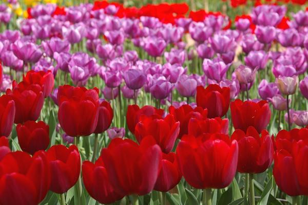 Тюльпанная феерия