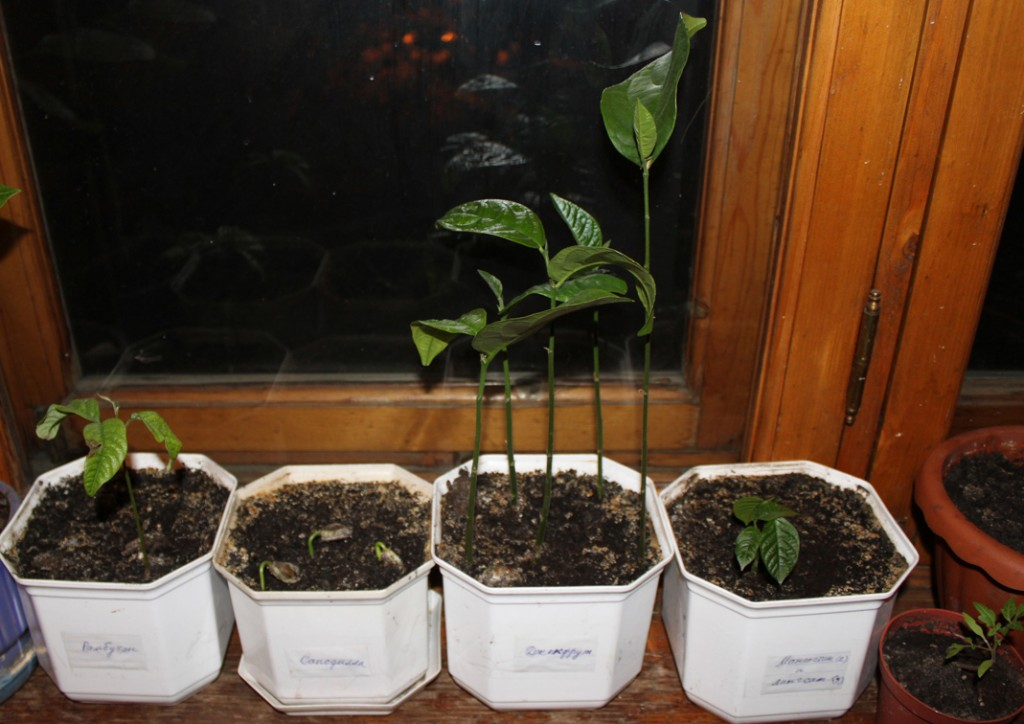 Стевия.выращивание в домашних условиях